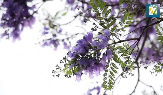 De la flor de cerezo en Japón a la jacaranda de México