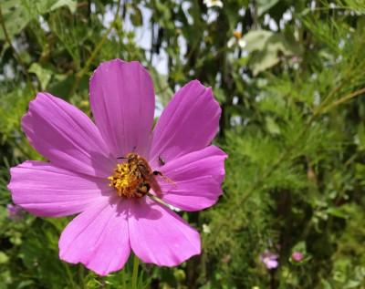 Los girasoles morados, flores de septiembre - Porfirio Tepox Cuatlayot